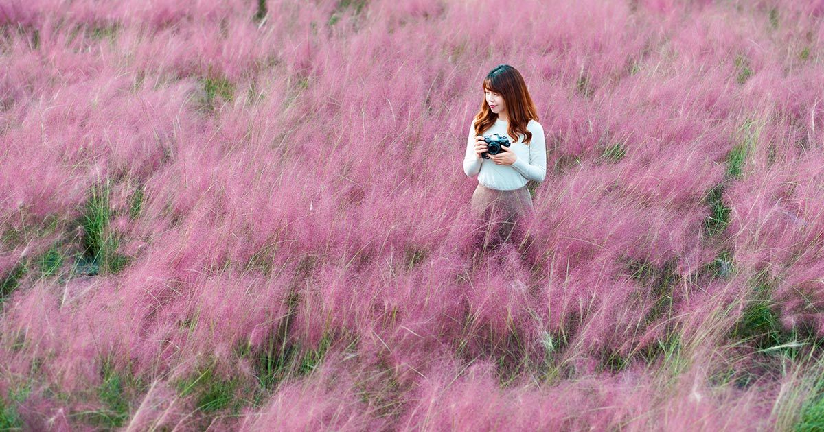 Gyeongju Pink Muhly 1 Day Tour from Seoul - Trazy, Korea's #1 Travel Guide